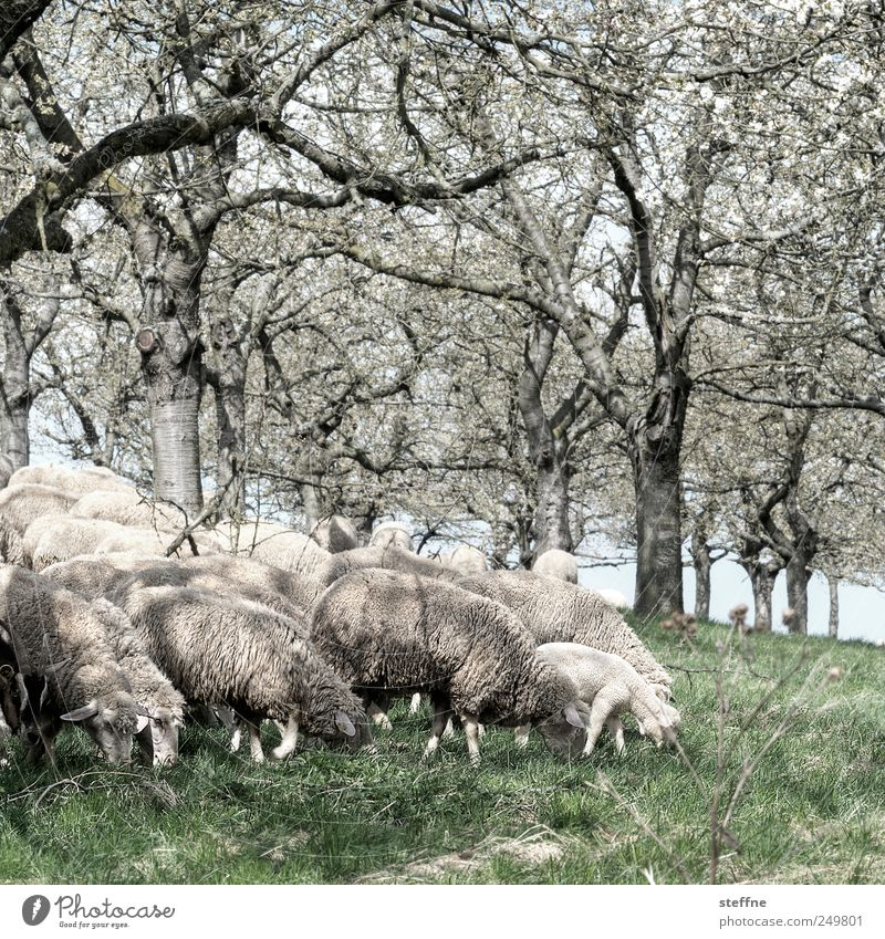 Talk is sheep Spring Tree Meadow Farm animal Sheep Lamb Group of animals To feed Wool Baaa Colour photo Exterior shot Day Central perspective