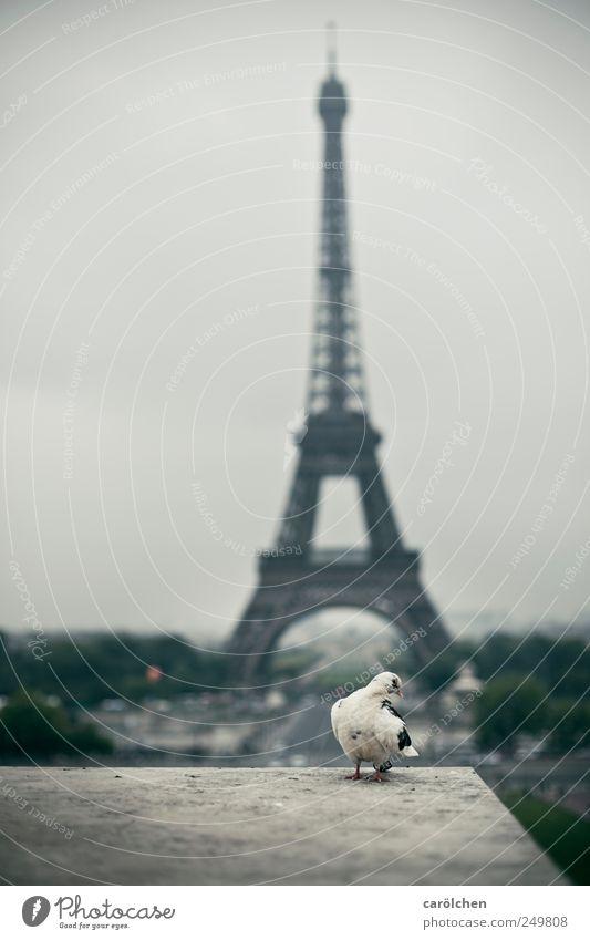 Animal Gray Posture Paris Pigeon Timidity Eiffel Tower