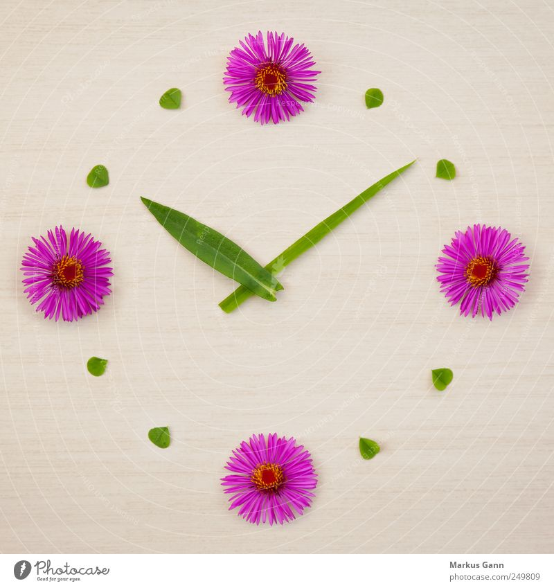 flower clock Design Summer Nature Plant Flower Grass Green Pink Planning Symbols and metaphors Cloverleaf Clock Time Clock hand Playing Colour photo Close-up
