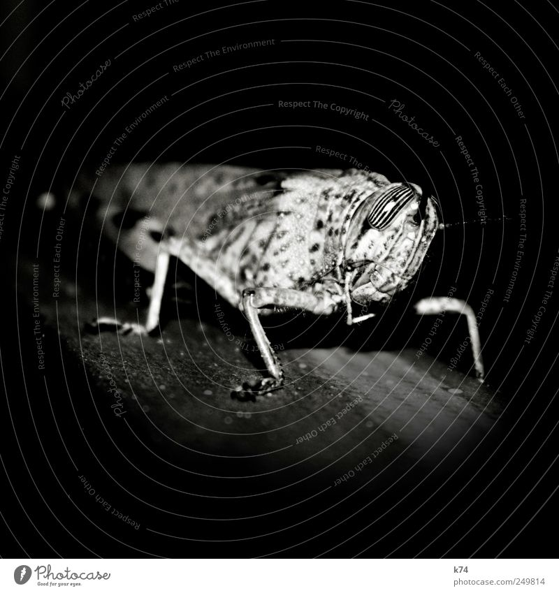grasshopper Locust Looking Wait Stagnating Striped Eyes Pattern Black & white photo Close-up Night Artificial light Light Shadow Contrast Deep depth of field