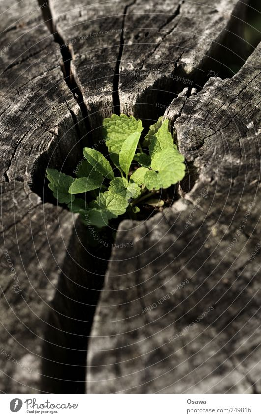 circulation Nature Plant Leaf Foliage plant Wild plant Beginning Contentment End Tree stump Germ Annual ring Crack & Rip & Tear Green Hope Death Weathered Old