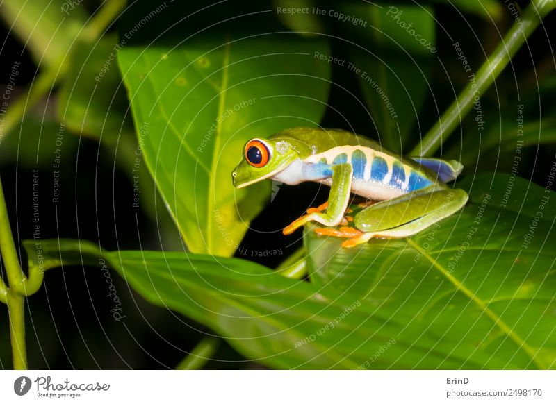 Red Eyed Tree Frog Close Up on Jungle Leaf at Night Beautiful Hunting Vacation & Travel Hiking Nature Plant Animal Virgin forest Exotic Wild Green Discover Eyes