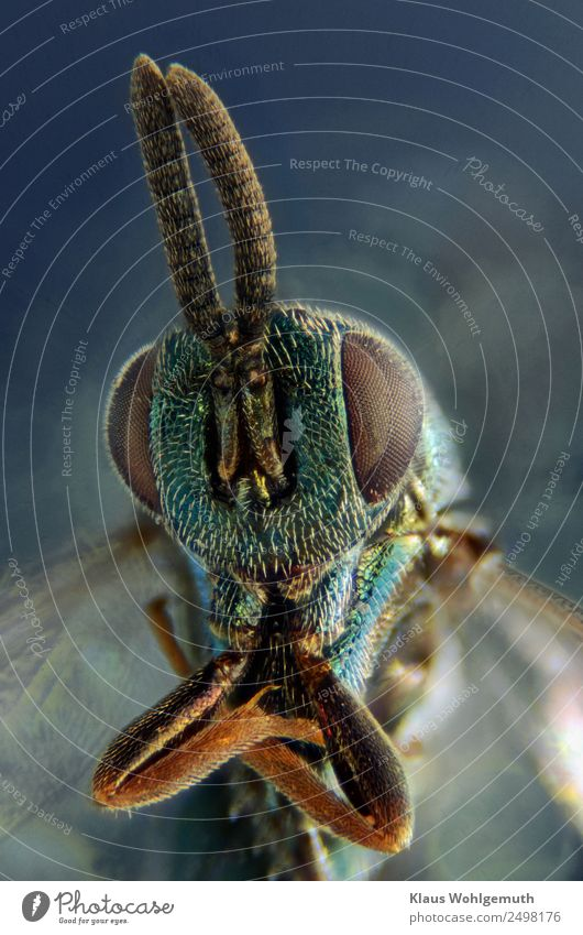 chalcid wasp very big Environment Nature Animal Summer Dead animal Wasps 1 Esthetic Exotic Glittering Creepy Blue Brown Turquoise Photomicrograph Microscope