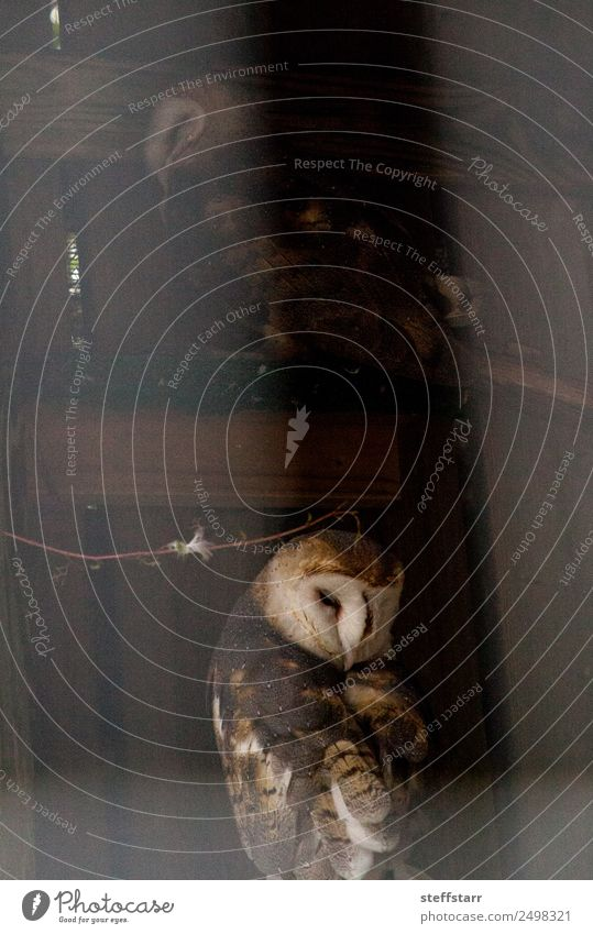 Barn owl Tyto alba in the shadows of a barn Animal Wild animal Bird 1 Brown White Owl Bird of prey raptor Night owl white face common barn owl avian nocturnal