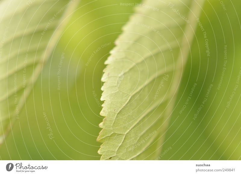 spring Nature Plant Spring Summer Climate Leaf Fresh Green serrated Rachis Part of the plant Photosynthesis chlorophyll Leaf green Colour photo Exterior shot