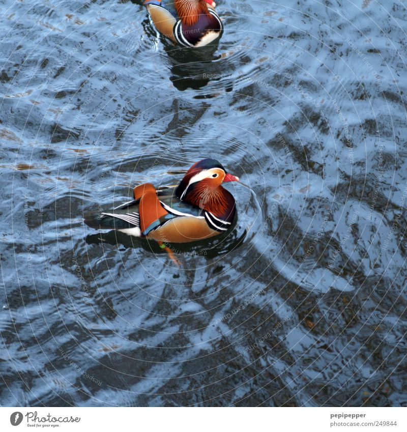 Tangerine duck(s) Water Summer Beautiful weather Waves Pond Lake Small Town Animal Dead animal Wing 2 Swimming & Bathing Blue Brown Yellow Red Duck Beak Feather