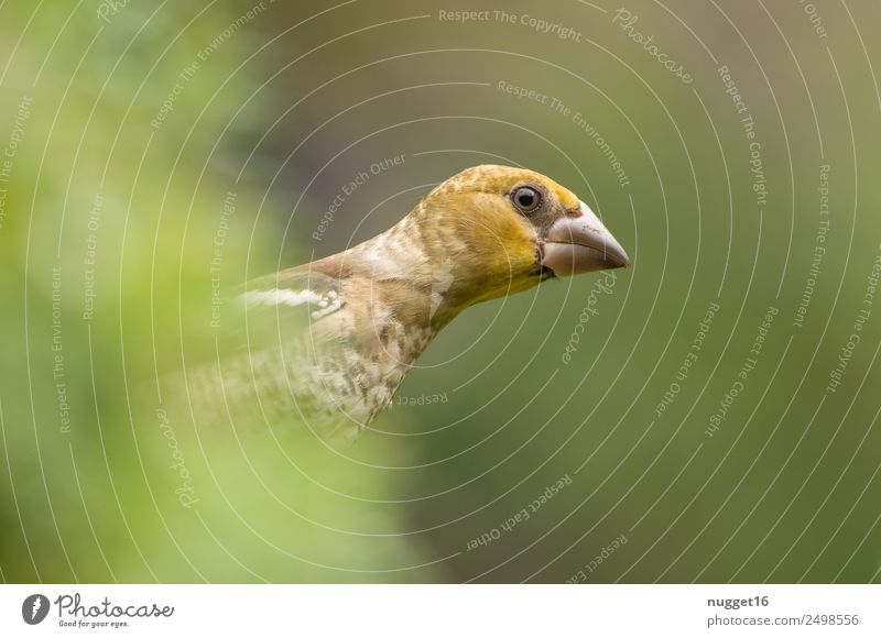 young hawfinch Environment Nature Plant Animal Sunlight Spring Summer Autumn Beautiful weather Bushes Foliage plant Garden Park Meadow Field Forest Wild animal