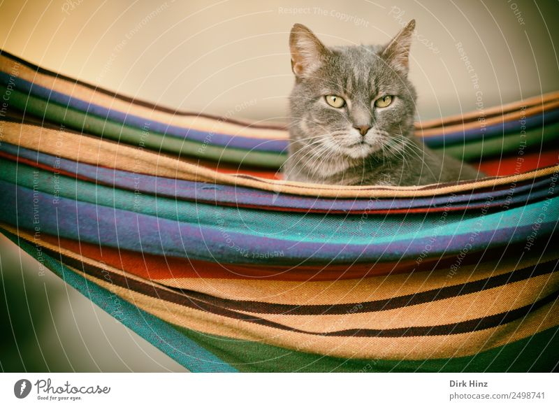 Grey cat in a hammock Living or residing Garden Bed Animal Pet Cat Animal face Pelt 1 Observe Hang Crouch Looking Sit Wait Beautiful Cute Multicoloured Gray