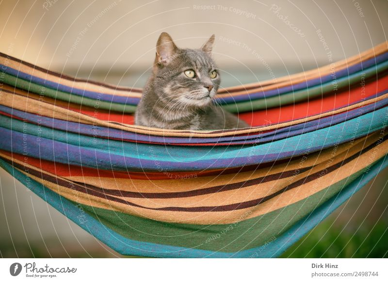 Grey cat in hammock Living or residing Garden Animal Pet Cat 1 Crouch Sit Multicoloured Gray Idyll Perspective Emphasis Hammock Suspended Relaxation Looking