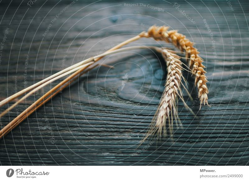 cereals Plant Orange Raw materials and fuels Grain Rye Wheat Ear of corn Farmer Agriculture Harvest Food gluten Blade of grass Colour photo Interior shot Day