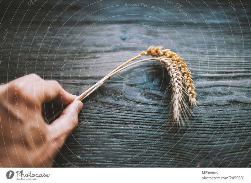 cereal species Hand To hold on Plant Orange Raw materials and fuels Grain Rye Wheat Ear of corn Farmer Agriculture Harvest Food gluten Blade of grass