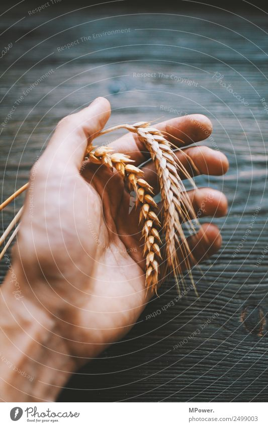 handful of grain Hand To hold on Plant Orange Raw materials and fuels Grain Rye Wheat Ear of corn Farmer Agriculture Harvest Food gluten Blade of grass