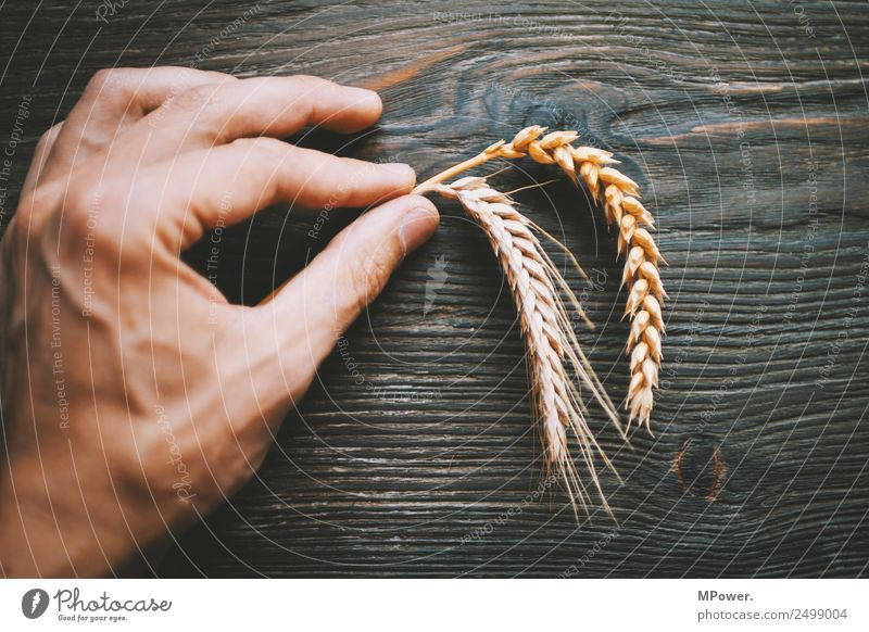 handful of grain Plant Hand Fingers To hold on Orange Raw materials and fuels Grain Rye Wheat Ear of corn Farmer Agriculture Harvest Food gluten Blade of grass