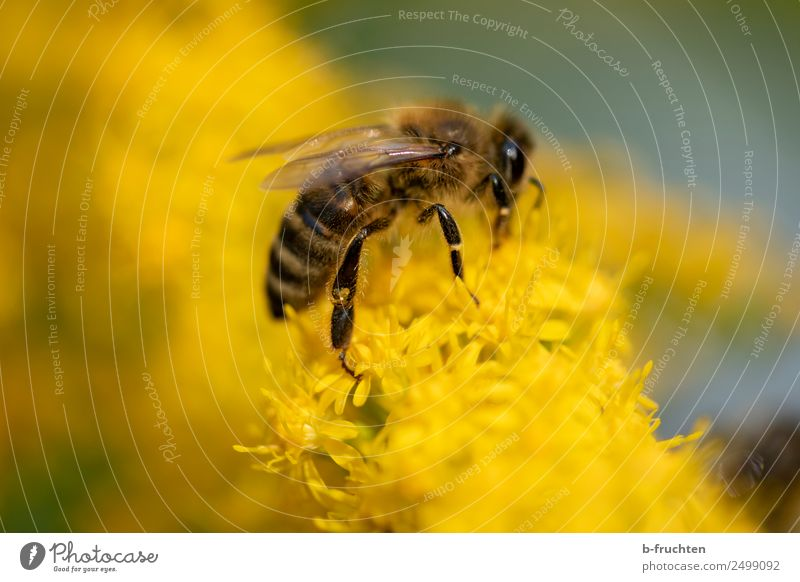 Honey bee collects yellow pollen on flowers Plant Blossom Garden Meadow Bee Touch To hold on Flying To feed Yellow Pollen Accumulate Sprinkle Nectar