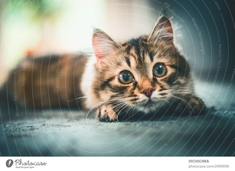 Cat looks playfully into the camera Joy Living or residing Animal Pet 1 Emotions Design Siberian cat Playing Beaded Hunting Funny Colour photo Interior shot