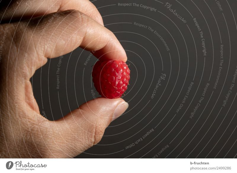raspberry Fruit Man Adults Hand Fingers To hold on Fresh Raspberry Individual 1 Berries Candy Delicious Vitamin-rich Colour photo Interior shot Studio shot