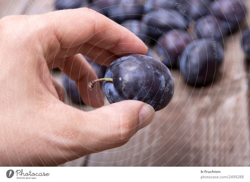 Damask plums Food Fruit Organic produce Healthy Eating Man Adults Hand Fingers Wood To hold on Fresh To enjoy Plum Mature Delicious Harvest Pick Fruit garden