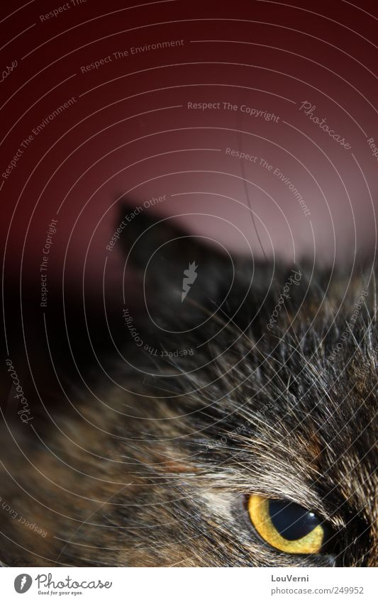 my cat Animal Pet Cat 1 Brave Uniqueness Lion owl bird of prey Red Yellow Brown Persian Wild Eagle Tiger Domestic cat Colour photo Close-up Deserted Looking