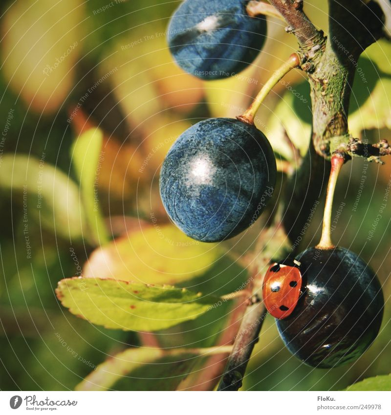 delicious, sloes Fruit Organic produce Environment Nature Plant Animal Beautiful weather Bushes Wild plant Beetle 1 Round Juicy Blue Green Red Idyll Ladybird