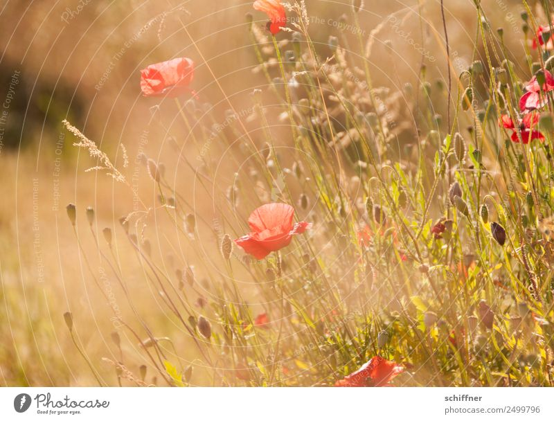 I dont like Mohndays II Environment Nature Plant Sunlight Summer Warmth Grass Bushes Meadow Field Blossoming Yellow Gold Orange Red Meadow flower Flower meadow