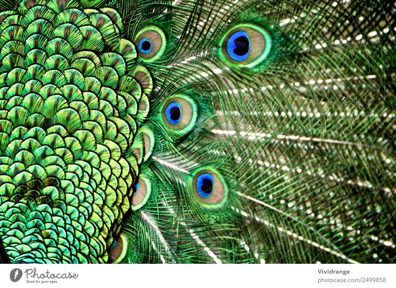 Peacock Tail Feather in Detail Nature Man Blue Beautiful Colour Green White Animal Adults Love Natural Emotions Happy Garden Bird Design