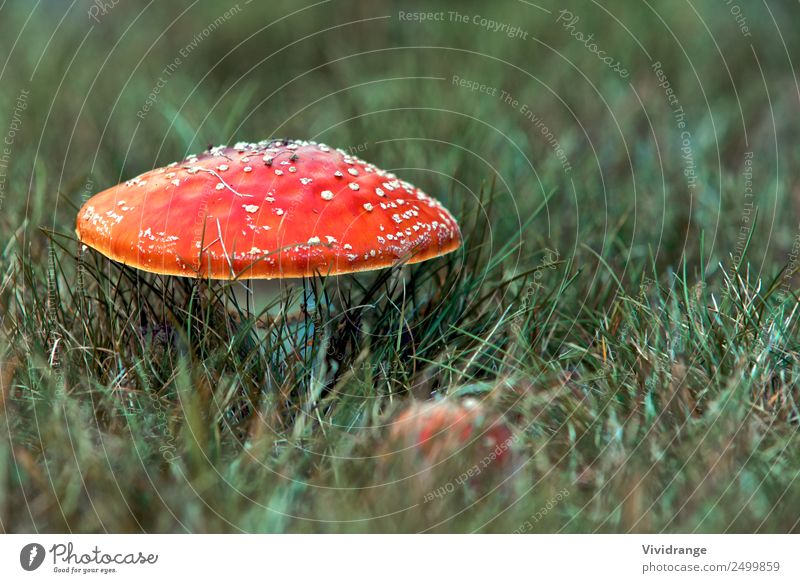 Red Mushroom in the Field Nature Vacation & Travel Summer Plant Beautiful Green White Forest Environment Autumn Spring Lanes & trails Natural Meadow Grass
