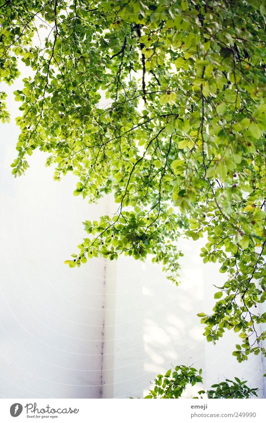 Green Summer Leaf Wall (building) Wall (barrier) Natural Foliage plant