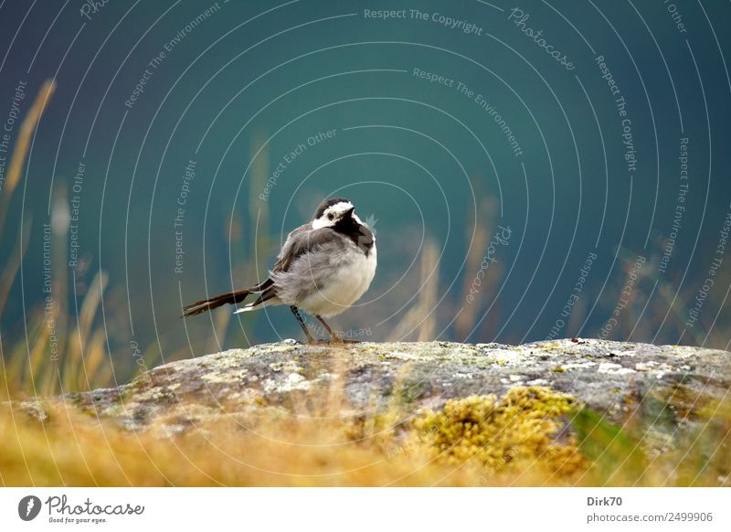 Wagtail on rocks Nature Sunlight Summer Beautiful weather Grass Moss Lichen Meadow Rock Mountain Sogndal Norway Animal Farm animal Bird Songbirds 1 Stone