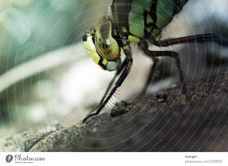 Morning gymnastics of a dragonfly at the pond Environment Nature Earth Sand Pond Brook Animal Beetle Animal face Claw Eyes Legs 1 Flying Crawl Looking Dive Wet