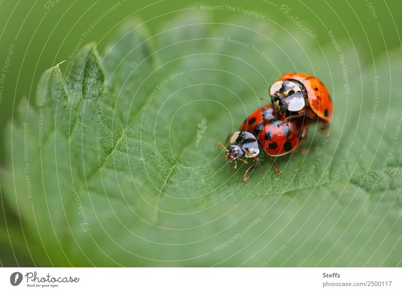 A summer love Environment Nature Summer Leaf Garden Park Forest Beetle Ladybird Insect Two animals 2 Animal Pair of animals Free Happy Natural Green Red