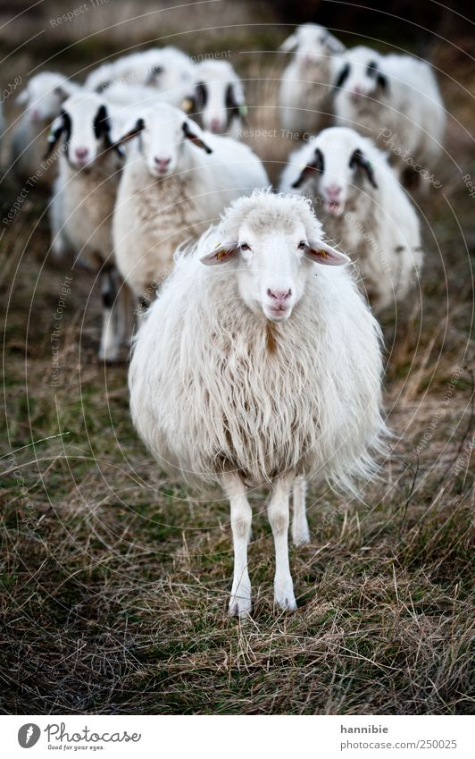 entourage Grass Moss Meadow Field Farm animal Herd Looking Stand Wait Green Black White Sheep Flock Challenging Provocative Pasture To feed Colour photo