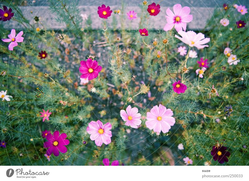 Nature Green Beautiful Plant Summer Flower Blossom Pink Tall Growth Natural Delicate Many Friendliness Blossoming Stalk