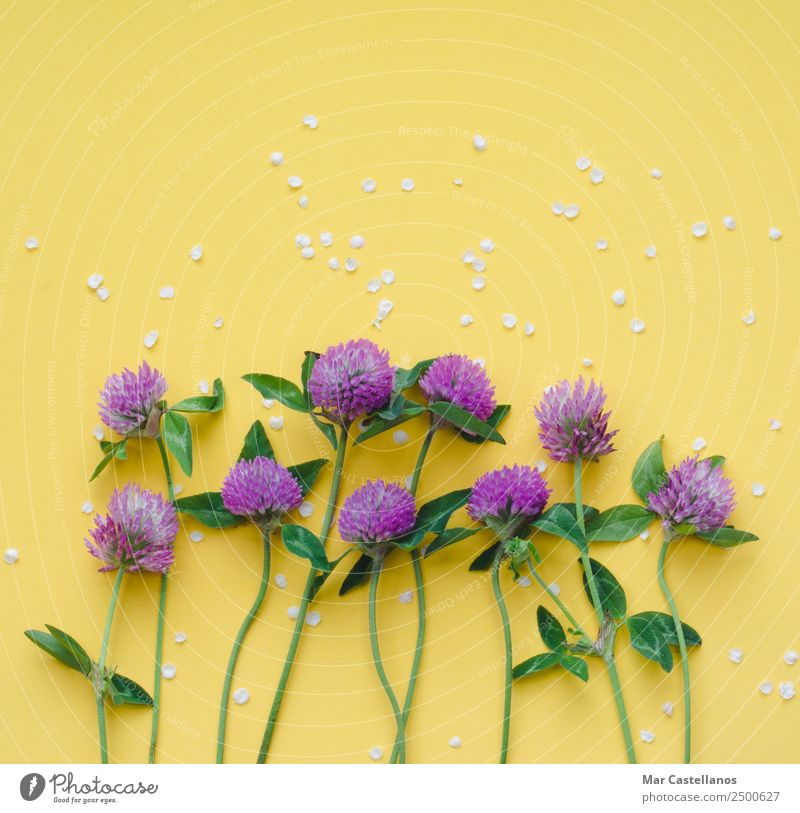 Clover flowers on yellow background Summer Plant Beautiful Colour Green White Flower Leaf Yellow Spring Blossom Natural Grass Art Garden Write