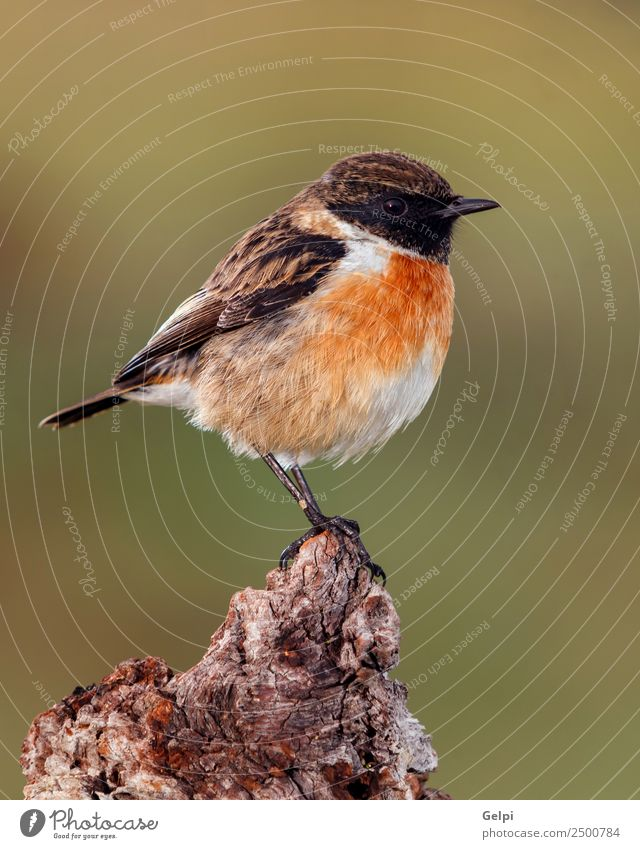 Pretty bird Beautiful Life Man Adults Environment Nature Animal Bird Small Natural Wild Brown Green White stonechat wildlife common perched background passerine