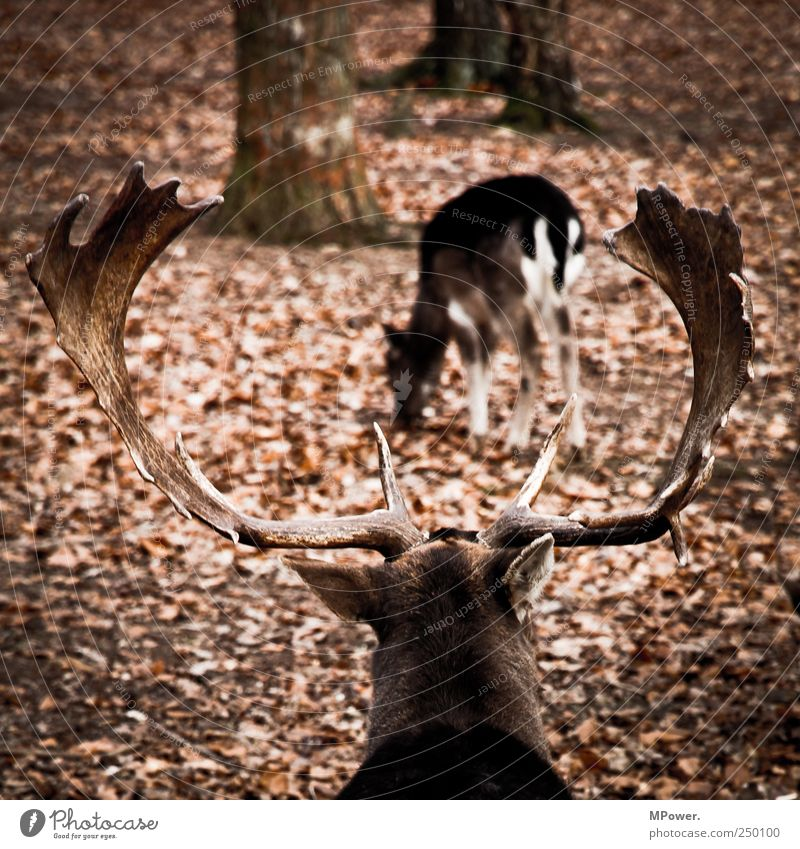 hot buck Environment Autumn Animal Wild animal 2 Pair of animals Aggression Brown Antlers Leaf Forest Instinct Masculine Propagation Elk Bull Moose Colour photo