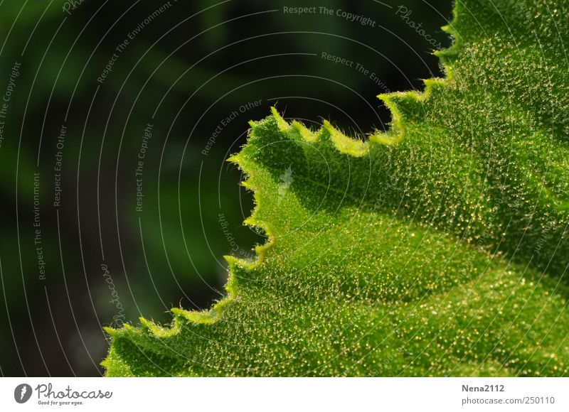 odd Nature Plant Drops of water Leaf Agricultural crop Green Damp Dew morning dew Zucchini Diagonal Colour photo Exterior shot Close-up Detail