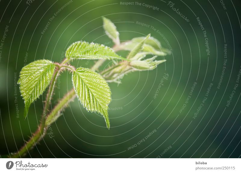 In new freshness Leaf Blackberry Thorny Spine Green Red Nature Fresh New Spring Exterior shot Deserted Copy Space right Shallow depth of field