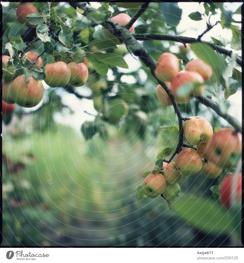 apples Fruit Apple Environment Nature Plant Summer Tree Agricultural crop Garden Garden plot Fresh Juicy Mature Apple tree Colour photo Exterior shot Day