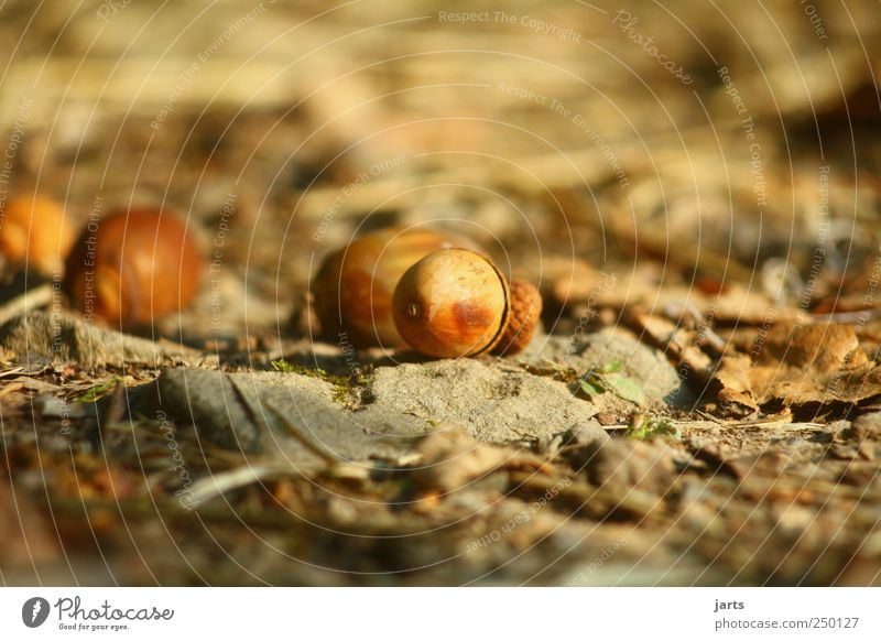 worm's-eye view Environment Nature Autumn Natural Acorn Lanes & trails Colour photo Exterior shot Deserted Copy Space left Copy Space right Copy Space bottom
