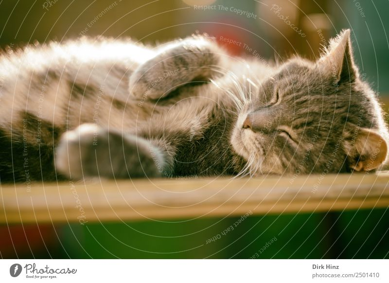 Grey hangover lying on a board Animal Pet Cat Pelt 1 Cute Soft Gray Contentment Safety (feeling of) Calm Relaxation Serene Nature Break Lie Sleep Doze