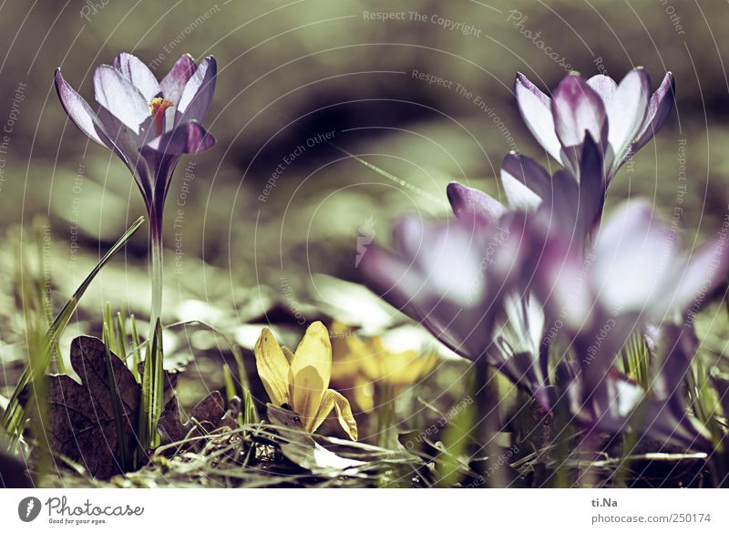 Flowers for you Environment Nature Plant Spring Grass Blossom Crocus Blossoming Fragrance Bright Beautiful Spring fever Colour photo Exterior shot