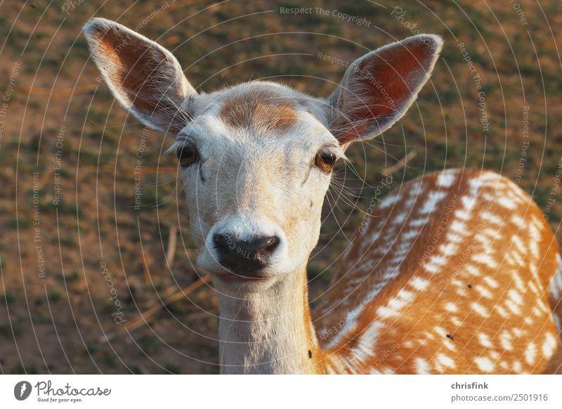 Animal Food Brown Wild animal Hunting Deer Hunter Roe deer Bambi
