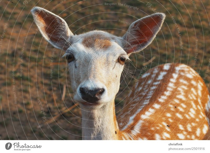Deer looks into the camera Food Animal Wild animal Roe deer cloven-hoofed game Hunting Hunter Bambi 1 Brown Colour photo Exterior shot Morning Looking