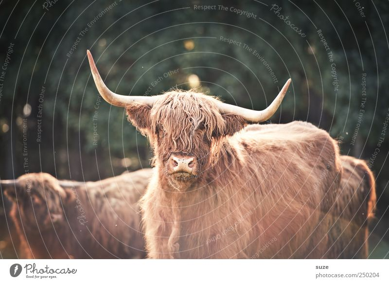 Buffalo Bill Agriculture Forestry Environment Nature Animal Farm animal Animal face 3 Herd Authentic Threat Bull Bullock Cattle Antlers Country life