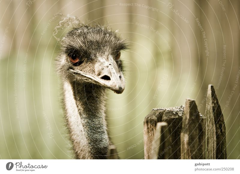 hangover Animal Zoo Emu 1 Exceptional Exotic Brown Green Fence Beak Looking Bird Subdued colour Exterior shot Deserted Day Sunlight Shallow depth of field