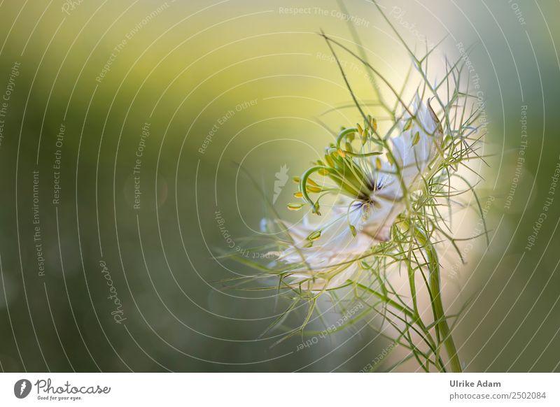Maid in the green (Nigella damascena) - Flowers Elegant Design Beautiful Wellness Harmonious Well-being Contentment Relaxation Calm Meditation Spa Decoration