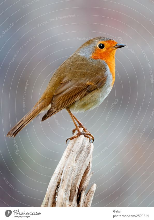 Pretty bird Beautiful Life Man Adults Environment Nature Animal Bird Wood Small Natural Wild Brown Gray White wildlife robin common perched background passerine
