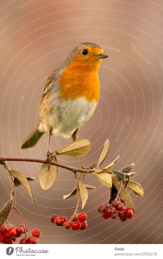 Pretty bird Beautiful Life Man Adults Environment Nature Animal Autumn Bird Small Natural Wild Brown White wildlife robin Berries red fruit branch common