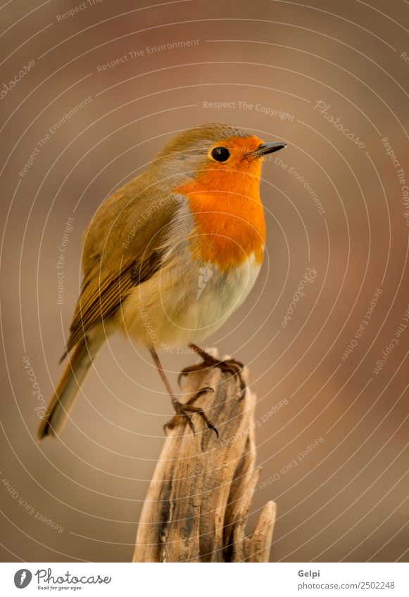 Pretty bird With a nice orange red plumage Beautiful Life Man Adults Environment Nature Animal Bird Small Natural Wild Brown White wildlife robin common perched