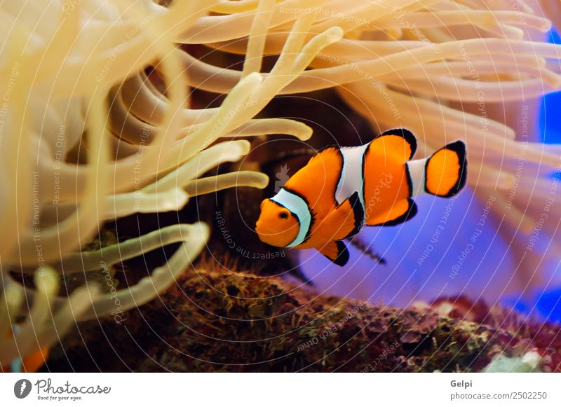 Tropical reef fish Life Vacation & Travel Ocean Dive Nature Animal Aquarium Natural Wild Blue Red White Colour anemone Clown orange Coral anemonefish water